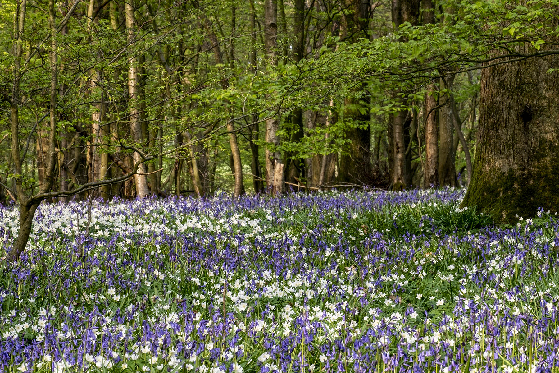 Wood anemones and bluebells